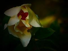 WisDOM. (Warmoezenier) Tags: amarillo bloem flower garden geel jardin raindrops roos rosa summer tuin verano yellow