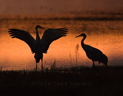 2016-11-11 P9050226 Secrets in the shadows (Tara Tanaka Digiscoped Photography) Tags: sandhillcrane bosquedelapachenwr silhouette sunset secret shadow reflection sun nikon300mmf28ais manualfocus dance courtshipdisplay bird animal