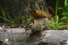 Ecureuil roux #1 (anthonypoittevin) Tags: animaux faune canada voyage travel nature animals mammifre mammal ecureuil roux scirius vulgaris red squirrel
