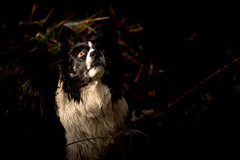 """47/52 """"What goes up must come down!"""" (JJFET) Tags: 57 52 weeks for dogs mist border collie eye dog"""