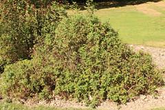 Rosa spinosissima L. - Duinroos - BG Meise-001 (Ruud de Block) Tags: meisebotanicalgarden jardinbotaniquemeise nationaleplantentuinmeise ruuddeblock rosaceae taxonomy:binomial=rosaspinosissima rosaspinosissima duinroos