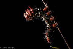 Mystery Caterpillar (antonsrkn) Tags: caterpillar entomology cordillera escalera conservation peru nature wild wildlife larvae larva legs yellow red hairy insect bug small macro night flash backlight backlit jungle forest animal outdoor nikon nikkor