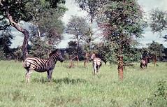 Kruger National Park 1981. Pentax MX, M50/1.7 Kodachrome (aeomaster32) Tags: wildlife pentax mx m5017 kodachrome kodak zebra krugerpark krugernational