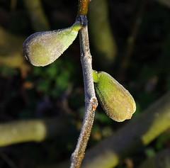 Fig. 2 (Badly Drawn Dad) Tags: gbr greaterlondon mybackgarden sydenham unitedkingdom coldsnap hoarfrost morning rime winter fig unripefruits