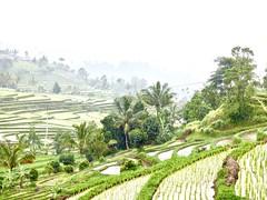 Rain in desa Jatiluwih . (Franc Le Blanc .) Tags: panasonic lumix indonesia bali jatiluwih ricefields rain fog