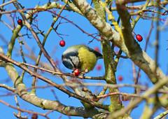 Blue Tit at Draycote Water (robmcrorie) Tags: blue tit draycote water severn trent reservoir warwickshire bird birding nature