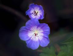Two Blue (vern Ri) Tags: blue fleur blumen flora nikon d750 nybg