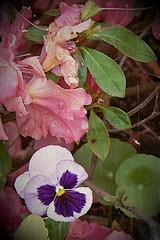 ARTSY  Pink Azaleas n Pansies Macro ANTIQUED (ny2tx1978) Tags: flower azalea tx texas usa nostalgic macro photo best pic top vote green nature portrait pose pansy beautiful pretty awesome detail sharp closeup art digital painting variety garden leaf petal original dark light shadow texture unique bold bright pastel watercolor oil impressionist scenic scenery park spring summer floral bouquet