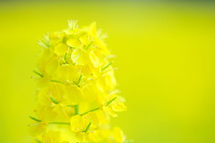 Smell (*Sakura*) Tags: flower macro green nature yellow japan tokyo spring  mustard sakura  earlyspring  rapeblossoms