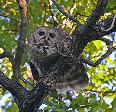 Barred Owl (lanaganpm) Tags: birds barredowl