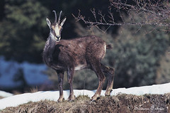 Camoscio (silvano fabris) Tags: nature animals wildlife camoscio faunaselvatica