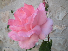 Rosa (Viva as Cores - Mrcia Aki) Tags: naturaleza flower portugal nature rock natureza flor rosa bidos parede pedras mygearandme mygearandmepremium mygearandmebronze paradedepedras