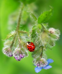 Fly Away Home (Mr.LeeCP) Tags: blue red flower macro green fuzzy ladybug