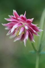 Raspberry Sorbet (burnthaggis) Tags: pink flower stamen raspberry