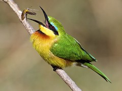 the little bee eater & the cricket (sole.r) Tags: africa beautiful bird birdwatching birding botswana colorful cricket cute hunting littlebeeeater meropspusillus mombo okavangodelta safari travel insectivore specanimal ngc specanimaliconoftheweek