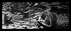 Big dude (Kals Pics) Tags: life light blackandwhite bw india elephant art texture monochrome animals forest training river photography blackwhite nikon dof skin details trunk karnataka colorless kaveri banks coorg elephantride dubare elephantcamp animalcare lightandlife bigdude incredibleindia nikond40 70300mmvr elephanttraining forestdepartment kalspics