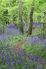 Path through the blue bell woods (TempusVolat) Tags: wood canon eos woods swindon bluebell gareth tempus 60d volat wonfor mrmorodo garethwonfor tempusvolat