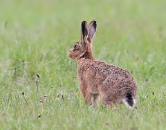 Brown hare (Roger H3) Tags: brown animal mammal hare
