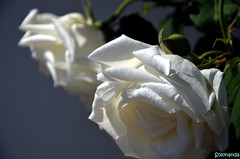 una rosa per la mia amica Rita (solonanda on/off slow internet) Tags: flowers white rosa fiori bianco roseto thegalaxy artisticflowers amazingdetails fleursetpaysages glodenachievement goldenachievement rememberthatmomentlevel1 dreamlikephotos