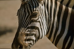 Zed is for Zebra (MPnormaleye) Tags: urban animals closeup rural wildlife rustic parks telephoto utata zebra creatures animalplanet beasts zoos