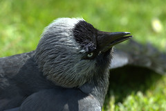 Phew! ... (SteveJM2009) Tags: uk light sun colour eye beauty closeup spring focus dof bokeh head expression beak feathers may dorset sunbathing poole basking plumage stevemaskell sunning jackdaw brownseaisland corvusmonedula 2013 naturethroughthelens