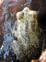 IMGP4992 (jmarconi) Tags: animal azul amphibian frog cerrado sapo poço perereca rã anura anfíbio aquático biodiversidade anuro taxonomy:binomial=bokermannohylapseudopseudis