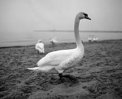 Swan (Franco Rabazzo) Tags: ocean sea bw bird 120 film beach animal strand analog iso400 balticsea polen mf 6x7 tmax100 negscan plaubel selfdeveloped kodaktmax100 makina670 sobot
