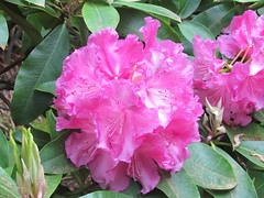 Trude Webster (dnoc) Tags: rhododendrons