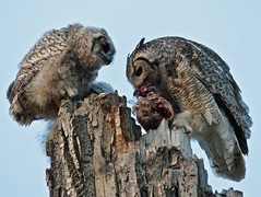 What's for supper, Mom? (annkelliott) Tags: two canada calgary bird nature birds female adult feeding young siblings camouflage alberta edge owl perched supper ornithology avian birdofprey greathornedowl excellence bubovirginianus fishcreekpark owlet sikome avianexcellence nestingtree duckonthemenu
