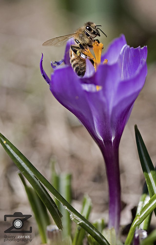 Honeybee On A Crocus