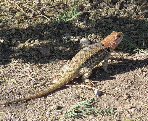 Sceloporus magister (Desert Spiny Lizard) more below
