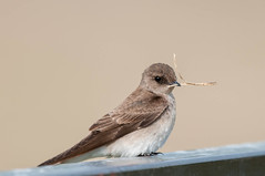 Northern Rough-winged Swallow (Stelgidopteryx serripennis) (Michael J Porter) Tags: bird birds britishcolumbia 108mileranch