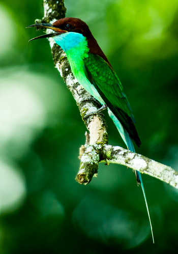 Blue-throated bee eater - 1
