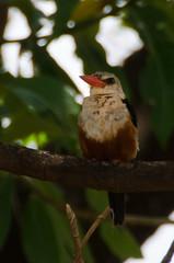 Tanzania-LakeManyara-16 (QuakeUp!) Tags: africa bird tanzania nikon safari lakemanyara woodlandkingfisher d7000