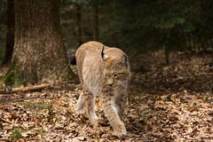 lynx walking through the forrest (Cloudtail the Snow Leopard) Tags: animal cat mammal feline katze lynx tier pforzheim wildpark luchs sugetier nordluchs eurasischer