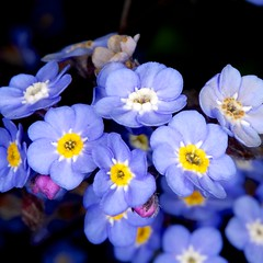 Forget me not (OAndrews) Tags: flowers blue plants plant flower macro me gardens garden petals flora forgetmenot forget
