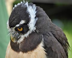 Spectacled Owl (littlestschnauzer) Tags: show uk west male bird up birds june close display yorkshire owl prey owls spectacled huddersfield honley 2013 elementsorganizer11
