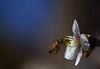 primavera en el almendro (.el Ryan.) Tags: flores flower macro primavera argentina bug bokeh flor colores bee amarillo mendoza 70300mm abeja lujan insecto almendro digitalcameraclub chacrasdecoria lujandecuyo wonderfulworldofflowers