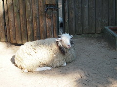Happy Sheep (jennygriffiths1) Tags: berlin smiling happy zoo sheep