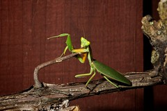 Pole Dancing (NZredflash) Tags: newzealand christchurch nature mantis canon5dmk2