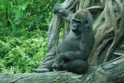 New York - The  Bronx - Bronx Zoo - Congo Gorilla Forest - Western Lowland Gorilla