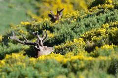 Cerfs dans les gents (Yvann Krupa) Tags: montagne pyrnes chasse rut cerf sauvage faune biche cerdagne cors approche pyrnesorientales brame cervus faon cervid elaphus capcir daguet afft laphe