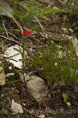 "Indian Paintbrush • <a style=""font-size:0.8em;"" href=""http://www.flickr.com/photos/63501323@N07/9130091345/"" target=""_blank"">View on Flickr</a>"