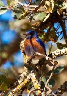 Damn Shadow, Western Bluebird, Lake Almanor CA