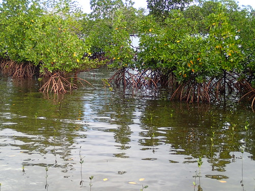 Mangrove plants, Malaita, Solomon Islands. Photo by Sharon Suri, 2013.