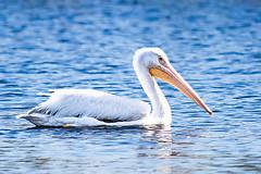 Pelican in Winter (Life of David) Tags: california winter white lake bird water swimming bill wings wildlife beak feathers floating peaceful glowing wading pelecanuserythrorhynchos wwwdavidlevinsonphotographycom