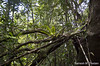 Amazon Jungle (Ramesh_Thadani) Tags: brazil brasil am amazon rainforest bresil brasilien jungle cachoeira mata brasile amazonas amazonia djungel regenwald br174 florestatropical amazonien presidentefigueredo cachoeiradasararas amazzonie