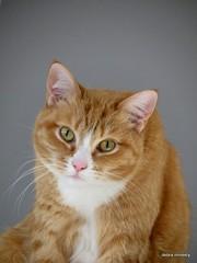 tilly (damselfly58) Tags: cat ginger furry feline funny chat siamese gatos burmese gatti gingerwhite