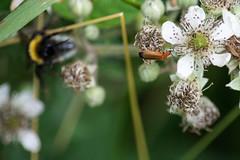 Hylecoetus Dermestoides (Norms360) Tags: bug nikon beetle timberworm d5200 nikond5200 timberwormbeetle