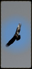 I can fly (M.J.H. photography) Tags: bird vulture soar